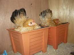 Induk Ayam mengeram