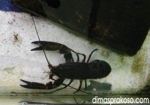 jual lobster Makassar