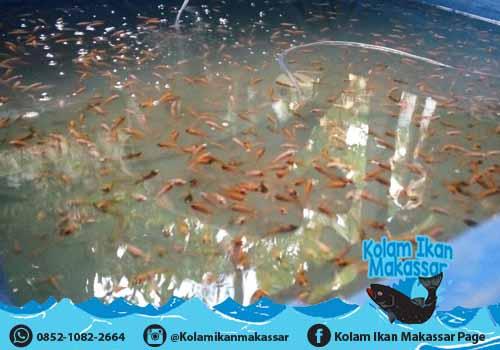 Kolam Ikan Makassar - Jual kolam terpal bioflok, bibit ikan lele, nila, bawal, dan beli hasil panen 1