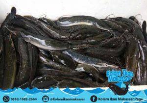 Kolam Ikan Makassar - Jual kolam terpal bioflok, bibit ikan lele, nila, bawal, dan beli hasil panen 2