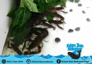 Kolam Ikan Makassar - Jual kolam terpal bioflok, bibit ikan lele, nila, bawal, dan beli hasil panen 3