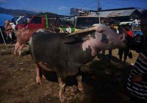 Liburan ke Toraja - Pasa' Tedong - Tedong Bonga