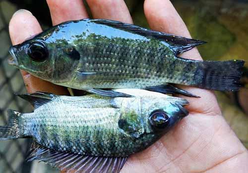 Cara Memilih Bibit Ikan Nila Unggul, Terjangkau dan Cepat Panen